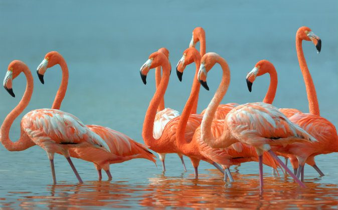 A file photo of flamingos. Flamingos have flocked to Kuwait, providing a pretty, pink sign of the changing season. (Shutterstock*)