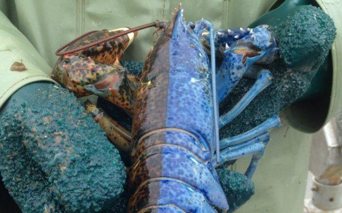 A two-toned gynandromorph (half male, half female) lobster caught off the coast of Newfoundland, Canada. (Via Okanagandude/Reddit.com)