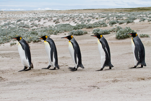 Depressed penguins in the UK were given anti-depressants. (Shutterstock*)