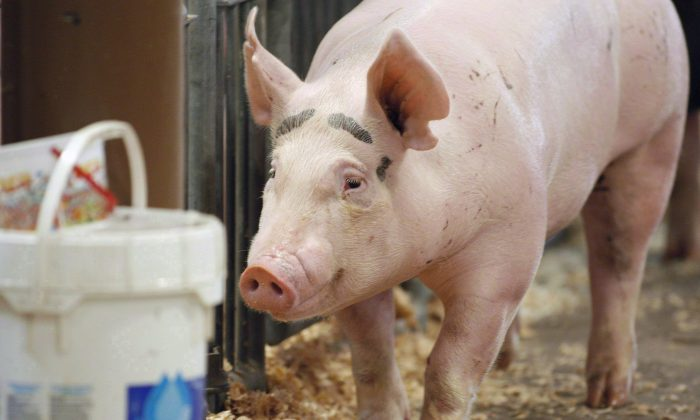 As the number of farms impacted by porcine epidemic diarrhea in Ontario continues to grow, policy makers and farmers are scrambling to find ways to prevent further spread of the fatal pig virus. (The Canadian Press/AP-Columbus Dispatch, Kyle Robertson)