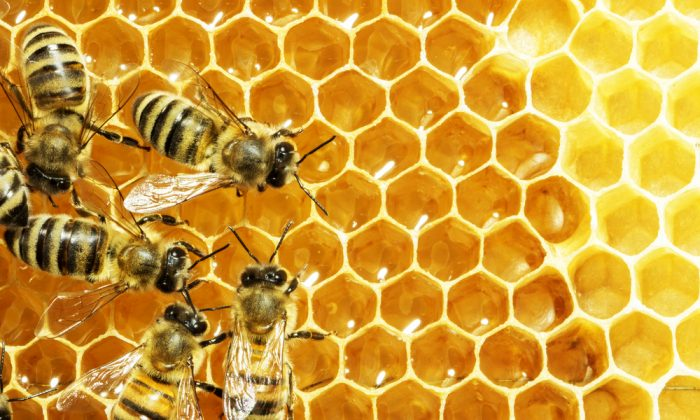 Bees in a beehive on honeycomb. (*Shutterstock)