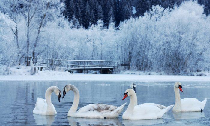 Swan-familiy in winter on the lake. (*Shutterstock)