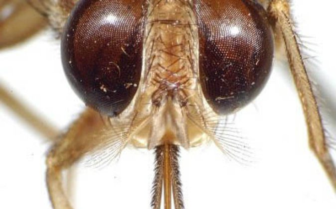 A Tsetse fly, one of the deadliest insects. (Wikimedia Commons)