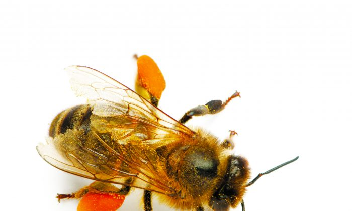 Bee pollen contains 22 amino acid, 27 minerals, and the full gamut of vitamins, hormones, and fatty acids. (Photos.com)