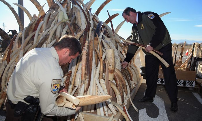 The U.S. Fish and Wildfire Service destroys six tons of confiscated ivory during U.S. Ivory Crush at the Rocky Mountain Arsenal Wildlife Refuge in Commerce City, Colo., on Nov. 14, 2013. (Doug Pensinger/Getty Images)