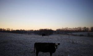 Bizarre Cattle Mutilations Baffle Investigators