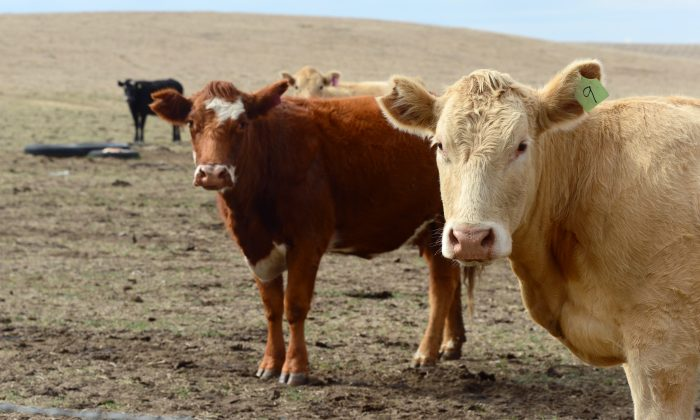Beef cattle roam the brown-dirt fields on a ranch on the outskirts of Delano, in California's Central Valley, on Feb. 3, 2014. (Frederic J. Brown/AFP/Getty Images)