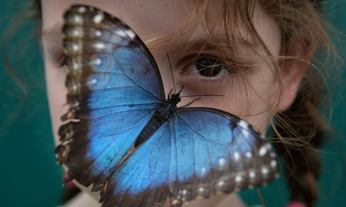 A Morpho peleides butterfly sits on the nose of a child during a photocall in the Natural History Museum's 'Sensational Butterflies' outdoor butterfly house in London on March 31, 2014. (Ben Stansall/AFP/Getty Images)