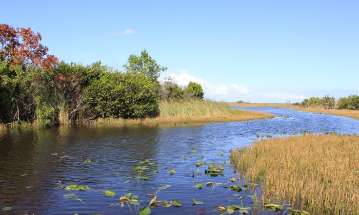 The Everglades is technically a river, flowing southwest at the slow rate of about a quarter mile a day. (Wibke Carter)