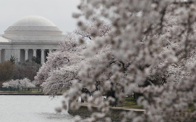 Cherry trees covered in blossoms are seen along the Tidal Basin, Monday, March 28, 2011, in Washington, during the 2011 National Cherry Blossom Festival. The National Cherry Blossom Festival runs through April 10.  (AP Photo/Carolyn Kaster)