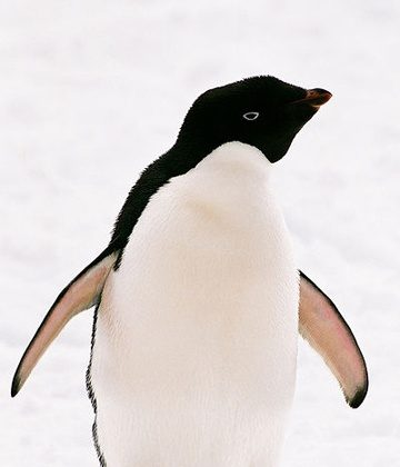 An Adélie Penguin (Pygoscelis adeliae). Photo courtesy of Reinhard Jahn under a Creative Commons Attribution-Share Alike 2.0 Germany license.
