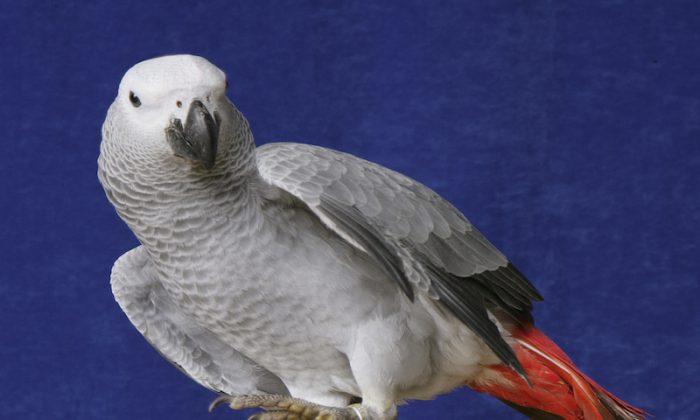 African Grey Parrot (shutterstock*)