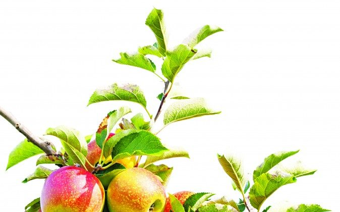 Apples are natural detoxifiers.(Peterfactors/photos.com)