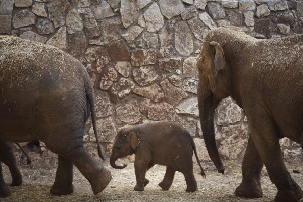 Baby Elephant Walking with Mother at the Safari Zoo in Ramat Israel, 2013  (Photo by Uriel Sinai/Getty Images)