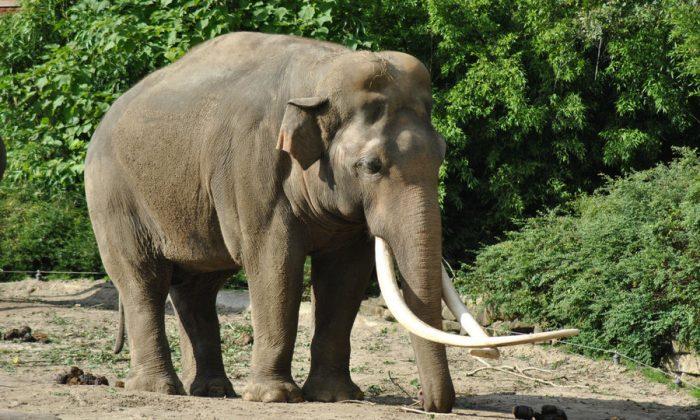 Bull Elephant in India (Emmen Zoo, September 2010)