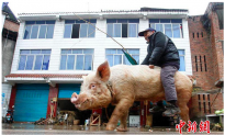 Video: Farmer Rides Giant Pig to Town in China