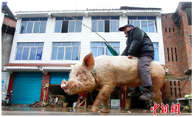 Farmer Jiang Chengyou rides uses one of his pigs to get around town, after he fell sick a few months ago, and became unable to walk long distances. (Screenshot/China News)