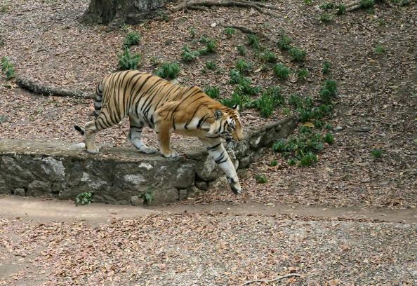 Indian Bengal Tiger (Raveendran/AFP/Getty Images)