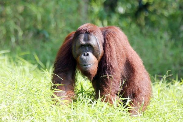 Female orangutan in natural Malaysian habitat (Rhett Butler/news.mongabay.com)