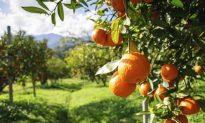Ethics and Orange-Leaf Water