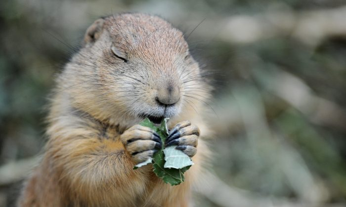 A prairie dog is a type of ground squirrel that is a common visitor to urban backyards in Canada. (Julian Stratenschulte/AFP/Getty Images)