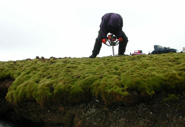A core extending from the upper surface of a moss bank to a depth of 54 inches (138 centimeters) was taken on Signy Island in 2003. (Peter Boelen)