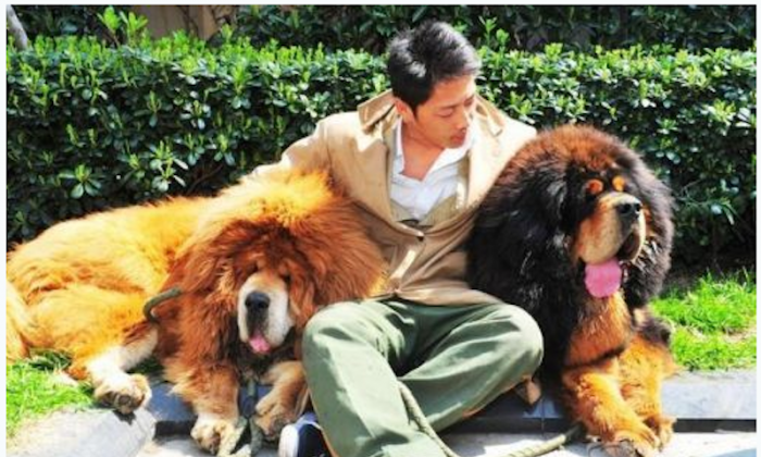 A dog carer says goodbye to two male Tibetan mastiffs purchased at a luxury pet expo on March 19. The male on the left was reportedly sold for almost $2 million, and could be the world's most expensive dog. (Screenshot/Qianjiang Evening News)