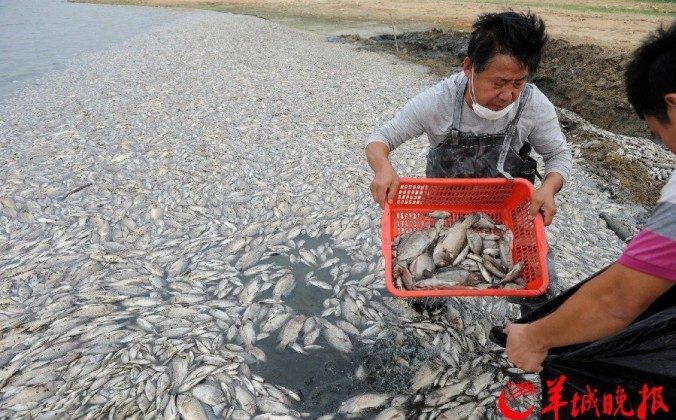 Thousands of fish have died in a lake in Shenzhen, Guangdong Province, in October 2013, probably due to pollution from sewage and industrial wastewater. Food safety issues have been haunting mainland Chinese for a very long time. (ycwb.com)