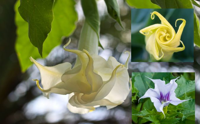 """Scopolamine comes from the seeds of a family of plants that includes angel's trumpets (left), sacred datura (top right), and jimson weed (bottom right). Scopolamine, or """"devil's breath,"""" has been called the world's scariest drug; it is also prescribed in the United States for nausea, as an aid to quit smoking, and for other uses. (Shutterstock*)"""