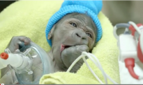 It Was Rough, But He Made It! Baby Gorilla Born by Rare C-Section at San Diego Zoo (Video)