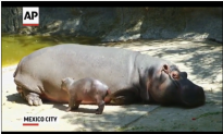 Watch: Baby Hippo Debuts at Mexico City Zoo