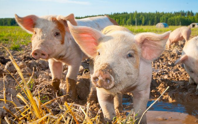 "What does the German idiom ""having a pig"" mean? Deutsche Welle put together a list of its 10 favorite German idioms. (Shutterstock*)"