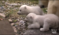 Watch: Polar Bear Twins Make Debut at Munich Zoo