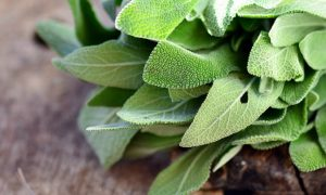 Growing Sage? Learn More About Its Uses and Fascinating History Here