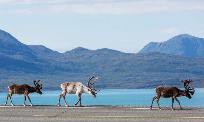 Raindeers on the Norwegian road again. (*Shutterstock)