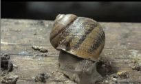 Escargot Could Face Extinction in France if Invasive Flatworm Gets its Way
