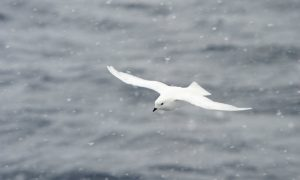 Scent That Guides Seabirds Keeps Climate Cool, Too