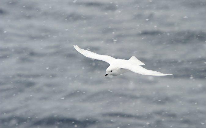 Snow petrel (Shutterstock*)