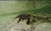 Oceanic Society Staff Nurses Turtle Back to Health