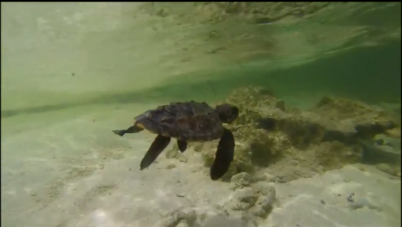 Staff from California's Oceanic Society nursed this injured Hawksbill turtle back to health (Screenshot)