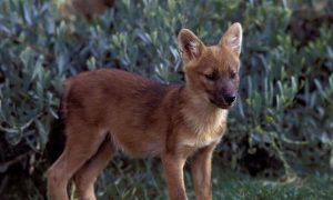 Rare Asiatic Wild Dogs Spotted in India for the First Time