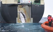 Japan to Continue Hunting Whales in Antartica in 2015