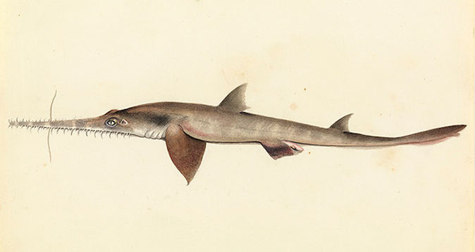Sawsharks may use their jagged snout to stun prey, detect electrical signals, and for defense. (Mongabay.com)
