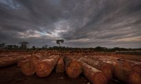 Logging in Congo Is Out of Control, Nearly 90 Percent Illegal