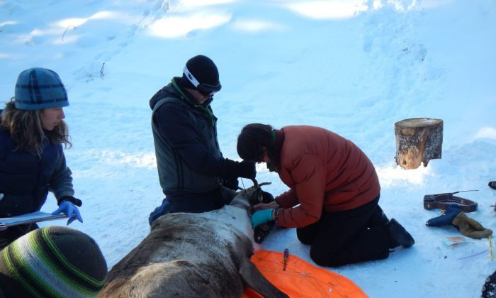 Members of the Northern Caribou Maternity Penning Project add a radio collar and take blood samples from a female caribou near Chetwynd, B.C. The pregnant female will live in a secure penned area for protection from predators and be fed and monitored until she delivers her calf and they are both strong enough to be released back into the open range in July. (CNW Group/West Moberly First Nations)