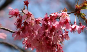 Temperatures Affect Cherry Blossoms' Peak Bloom Period in NY