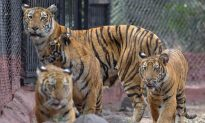 Tigress Gives First Birth in Panna Tiger Reserve
