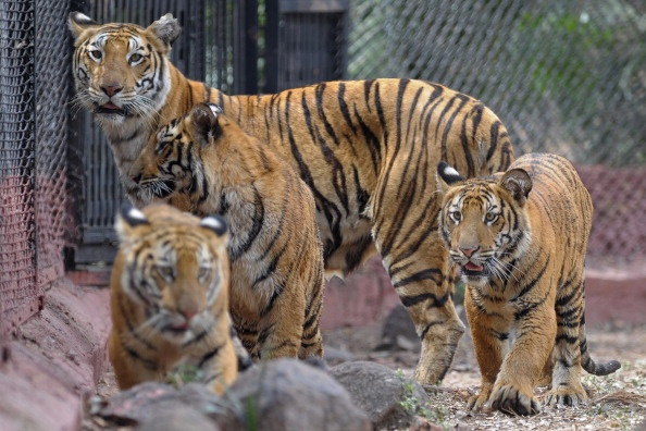 Aparna (background), a female Bengal tiger, keeps watch as her three nine-month old cubs explore their enclosure at the Nehru Zoological Park in Hyderabad on February 15, 2014. (Noah Seelam/AFP/Getty Images)