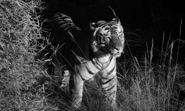 Tiger in Bandhavgarh, India, 2009. (Cyril Christo and Marie Wilkinson)