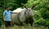 Infertility Issues Pushing Indian Rhinos to Extinction